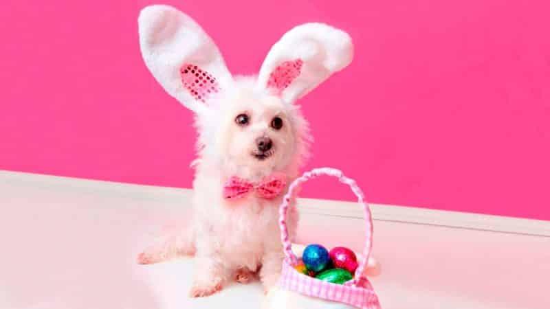 disfraz de conejo para perros