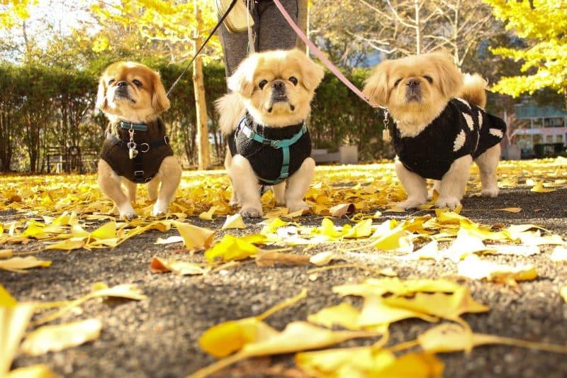 ejercicios para un perro pekines