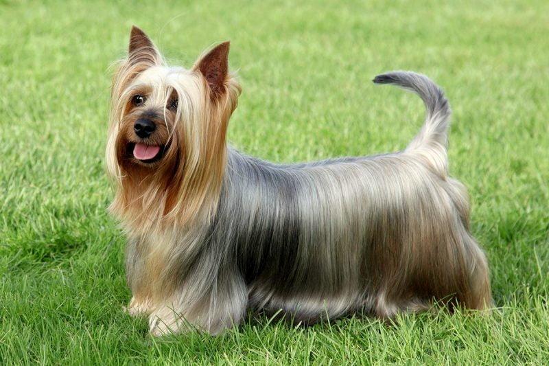 esperanza de vida del australian silky terrier