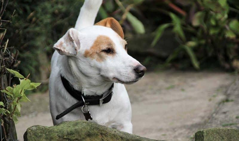 esperanza de vida del parson russell terrier