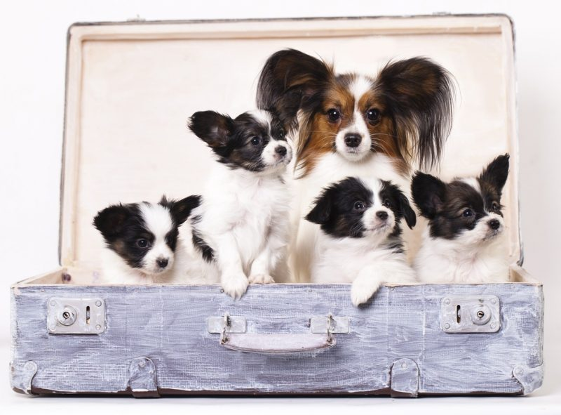 foto de cachorros de un perro papillon junto a su madre