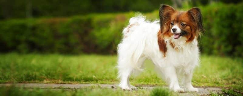 foto de un perro papillon parado sobre cesped en un jardin