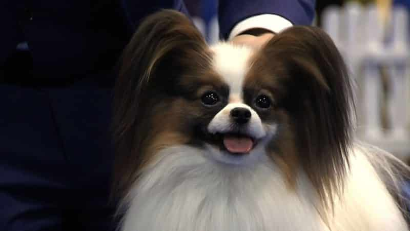 foto frontal de un perro papillon