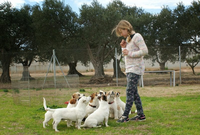 imagenes de perros parson russell terrier