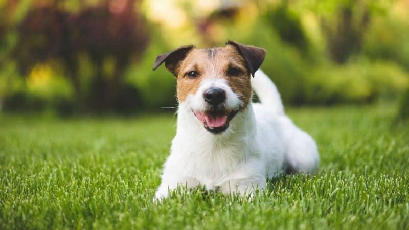 orígenes del parson russell terrier