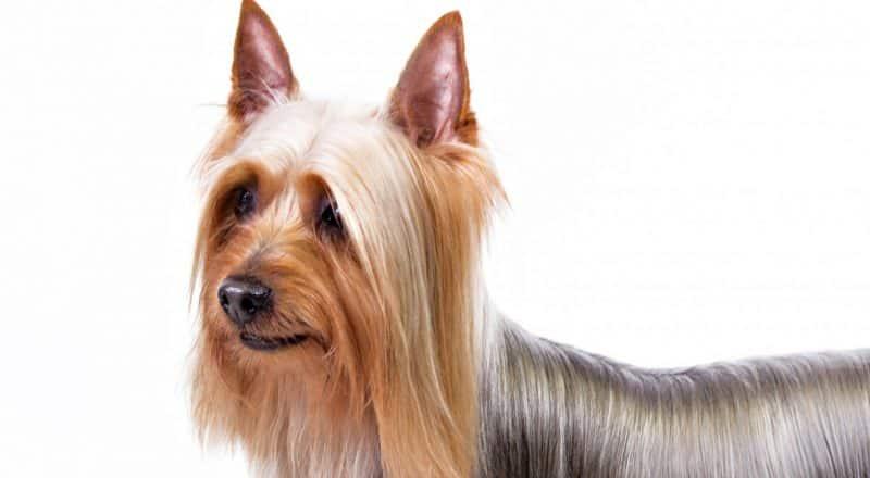 otros nombres del australian silky terrier
