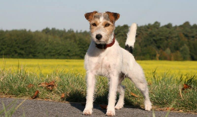 otros nombres del parson russell terrier