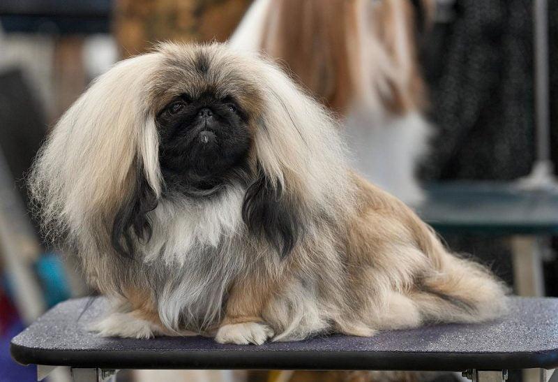 otros nombres del perro pekines