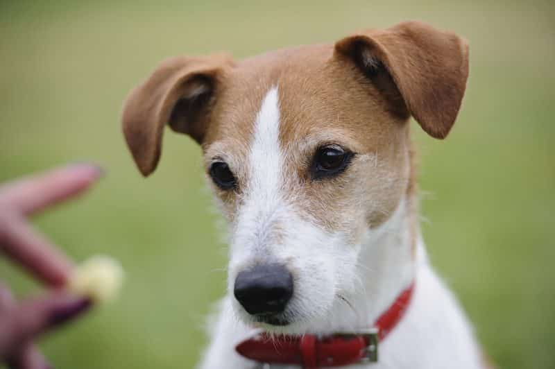 parson russell terrier cabeza