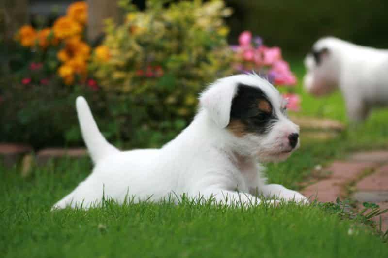 parson russell terrier cachorro