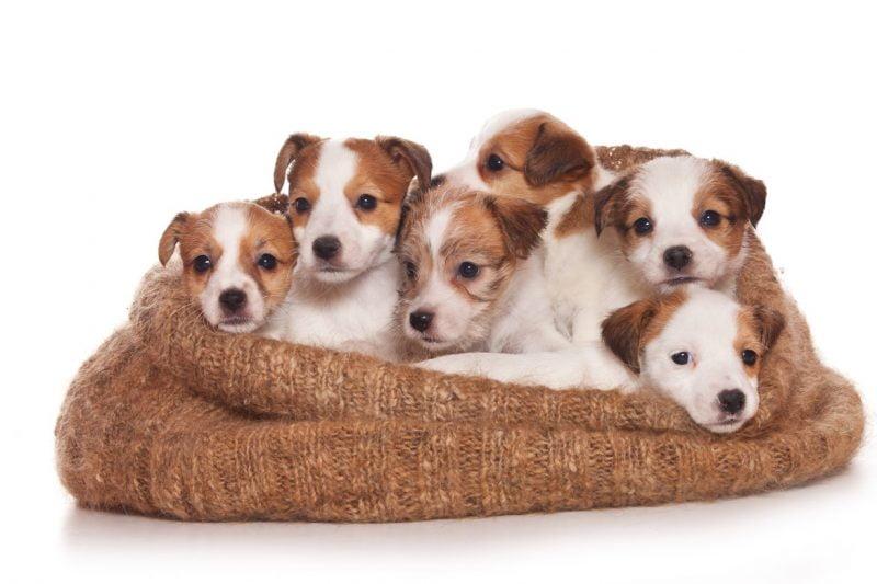 parson russell terrier cachorros
