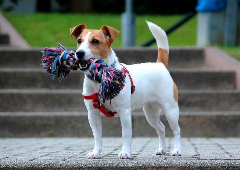 parson russell terrier mordiendo una cuerda