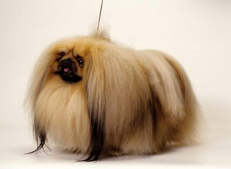 pelaje del perro pekines