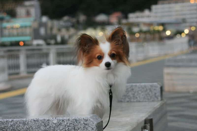 perro papillon sobre una banca de concreto