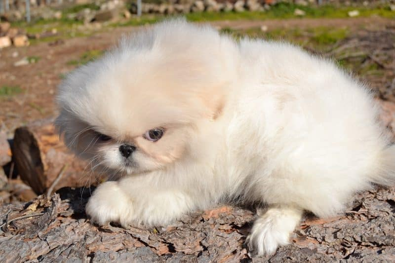 perro pekinés blanco