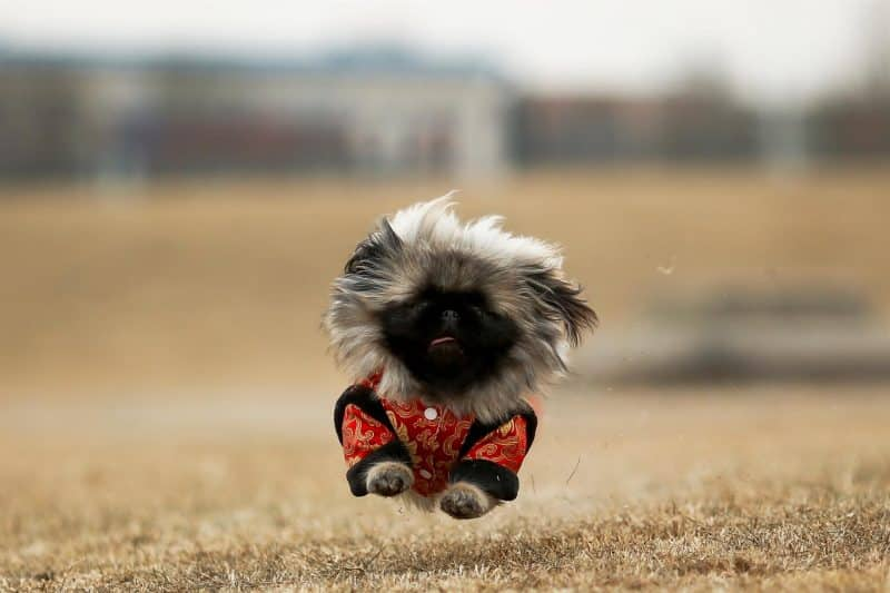 perro pekines corriendo