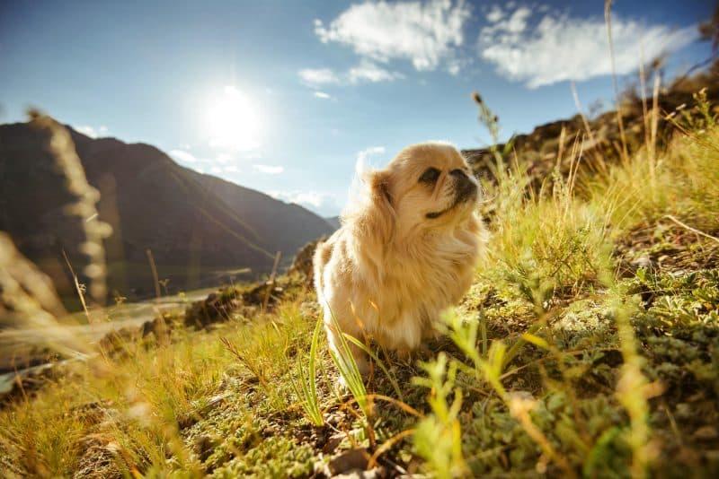 perro pekines en campo