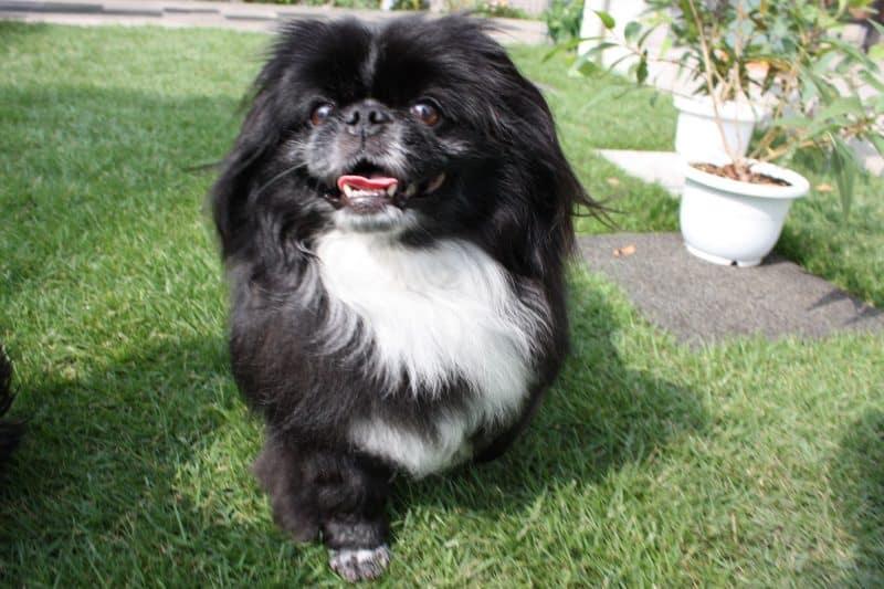 perro pequinés blanco y negro
