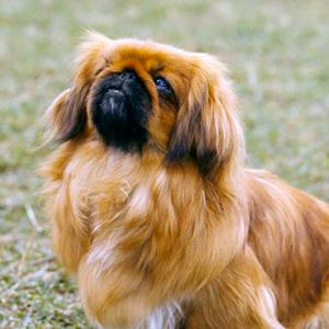 Todo sobre el Perro Pekinés: Precios, imágenes, cachorros, cuidados, alimentación, adiestramiento y mucha más información