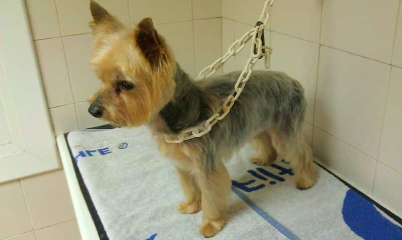silky terrier australiano enfermedad de legg calve perthes