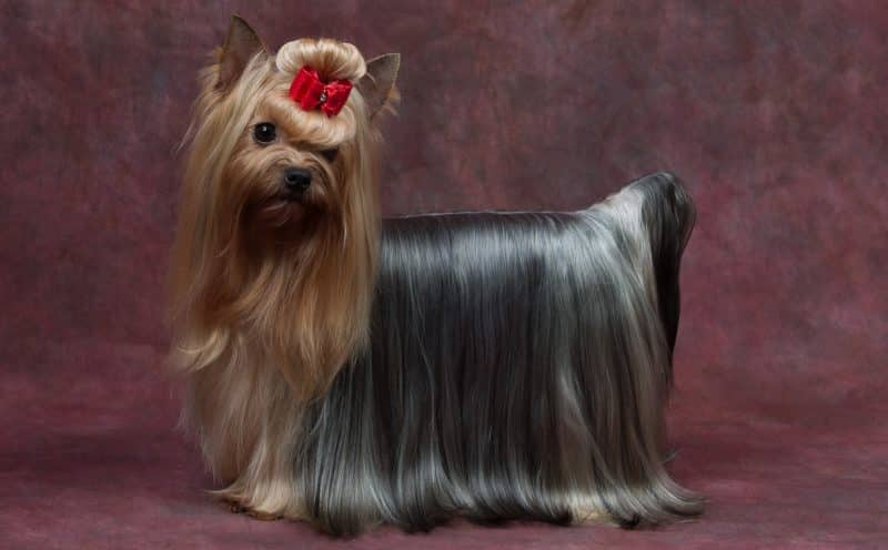 silky terrier australiano retrato