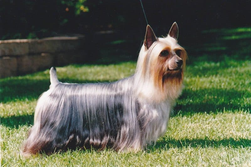 tipos de australian silky terrier