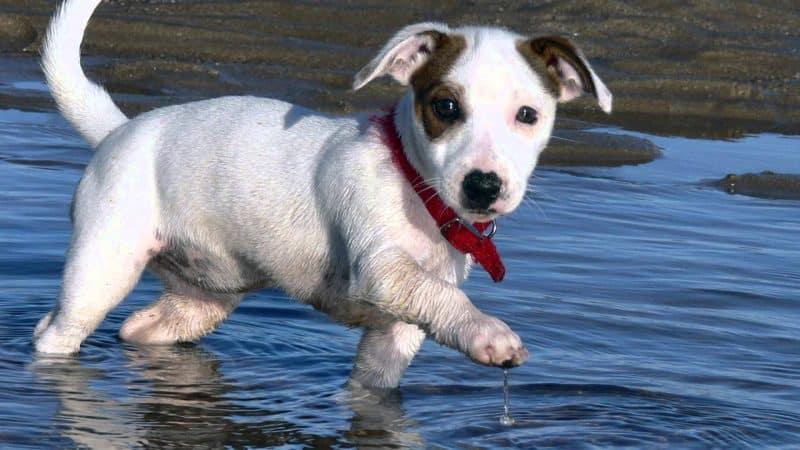 tipos de parson russell terrier