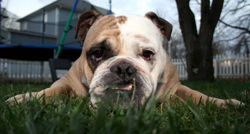 bulldog inglés acostado sobre césped