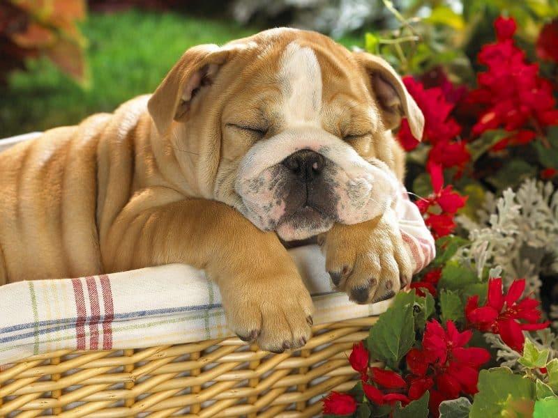 bulldog inglés durmiendo