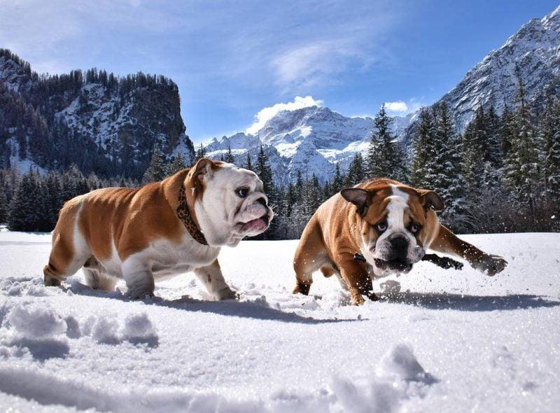 bulldog inglés jugando en la nieve