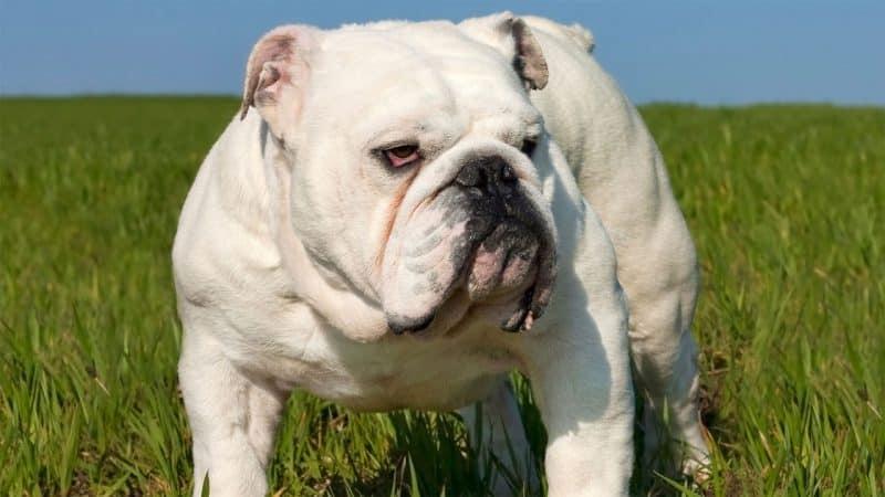 carácter del bulldog inglés